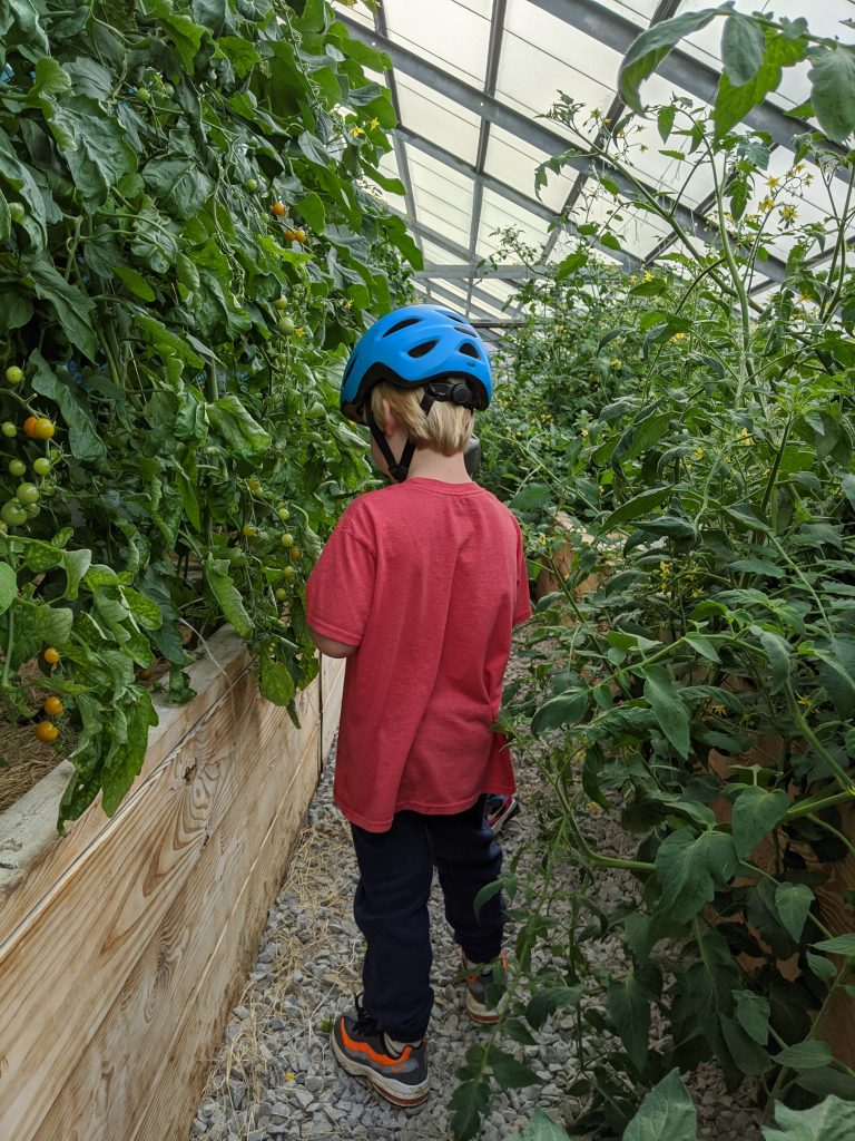 A little boy picks cherry tomatoes in the greenhouse