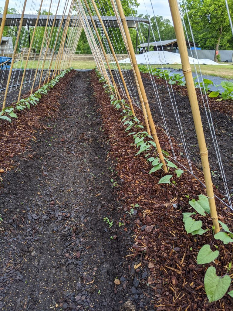 Pole bean plants shortly after emerging along the built A-frame climbing trellis