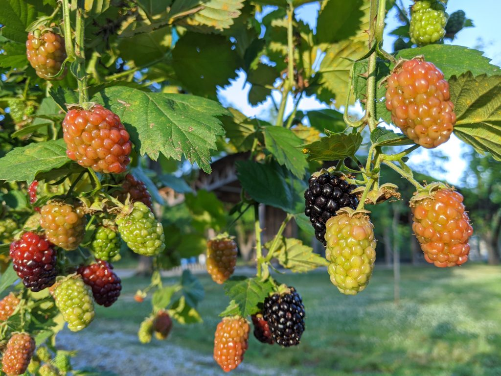 Blackberries of different stages of ripeness hang from canes