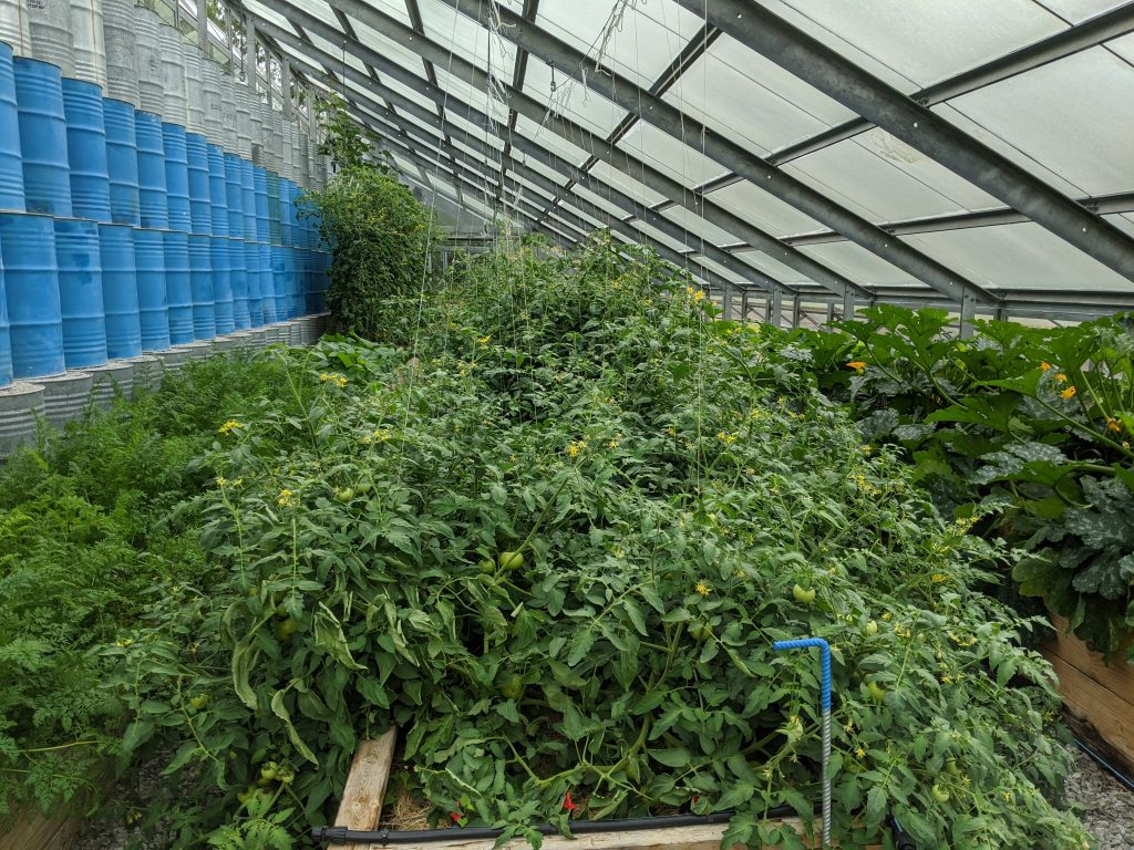 Tomatoes grown in the greenhouse are healthy and overflowing their beds with foliage