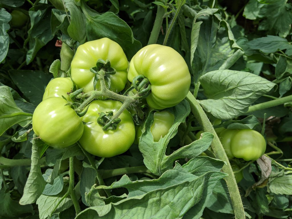 A close-up of green tomatoes