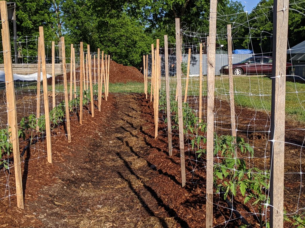 A view of the newly built tomato cages for determinate field tomatoes