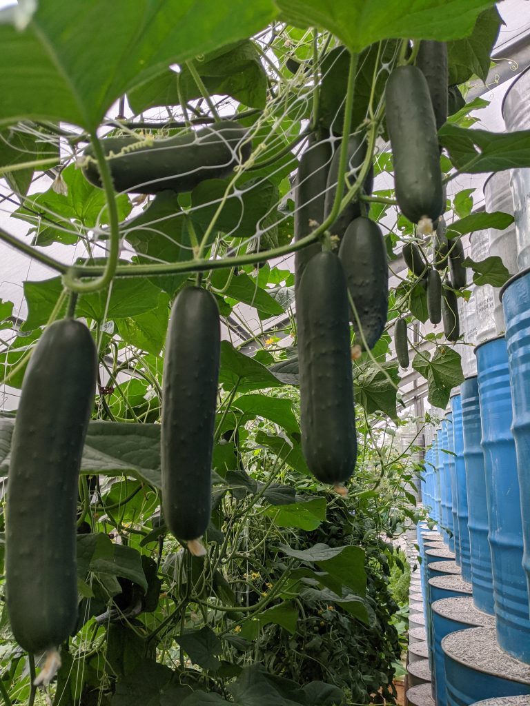 Greenhouse-grown cucumbers hang down through their support trellis