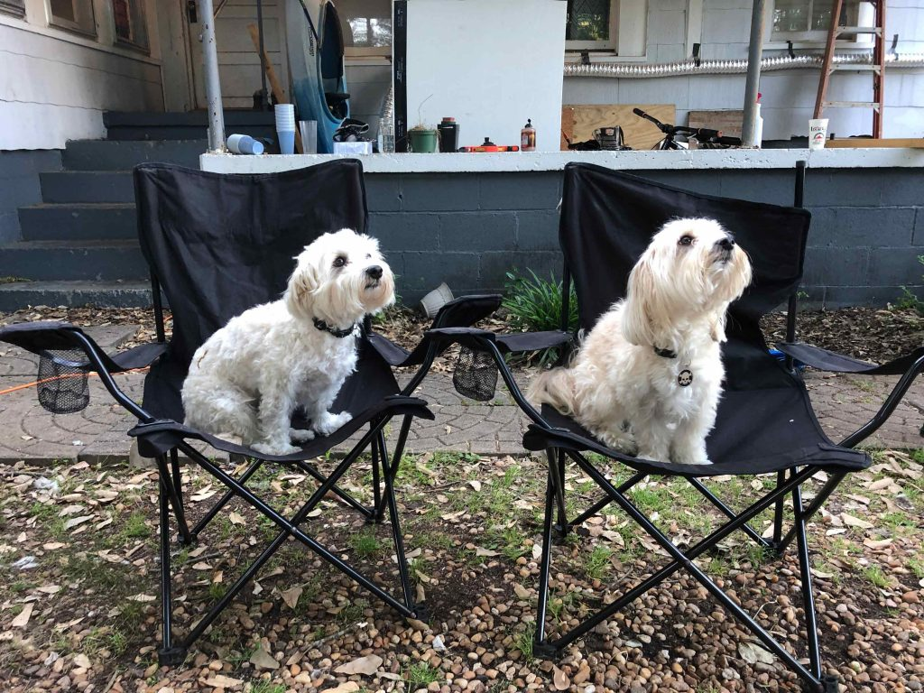 two twin small white dogs sitting in two folding lawn chairs looking up