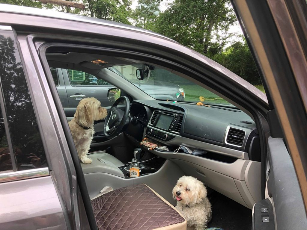 two small white dogs in a car