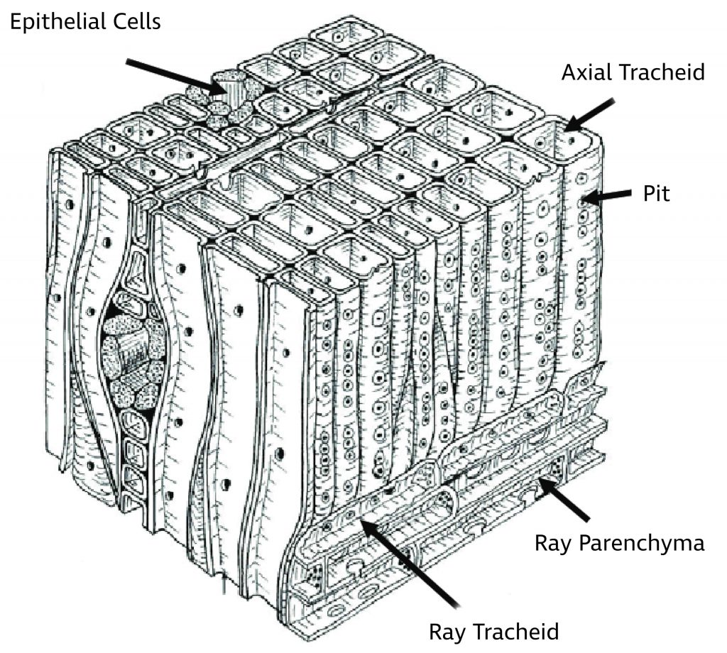 diagram of softwood cellular structure showing tracheids, parenchyma, and epithelial cells
