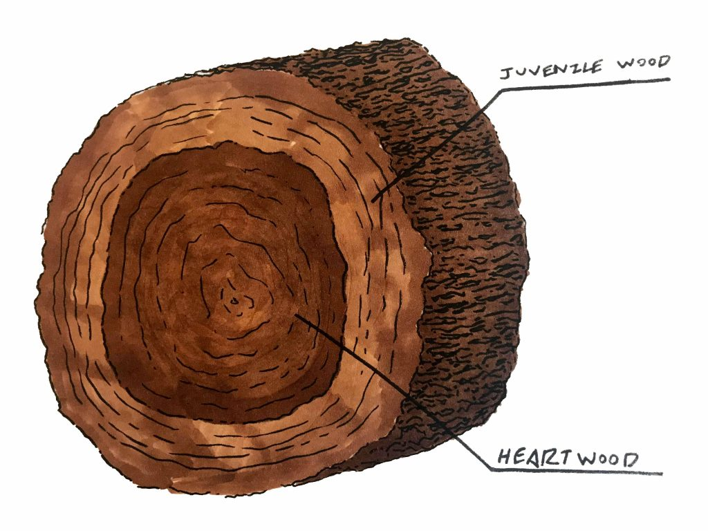 a section of a log showing juvenile wood and heartwood