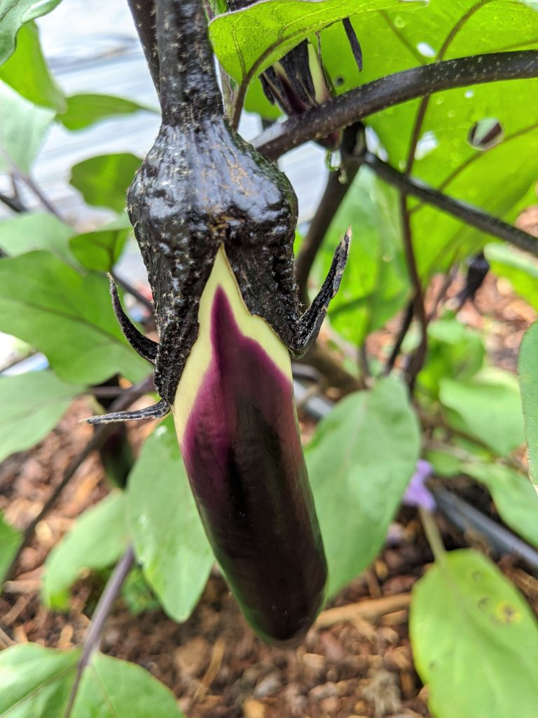 A young Asian eggplant fruit developing