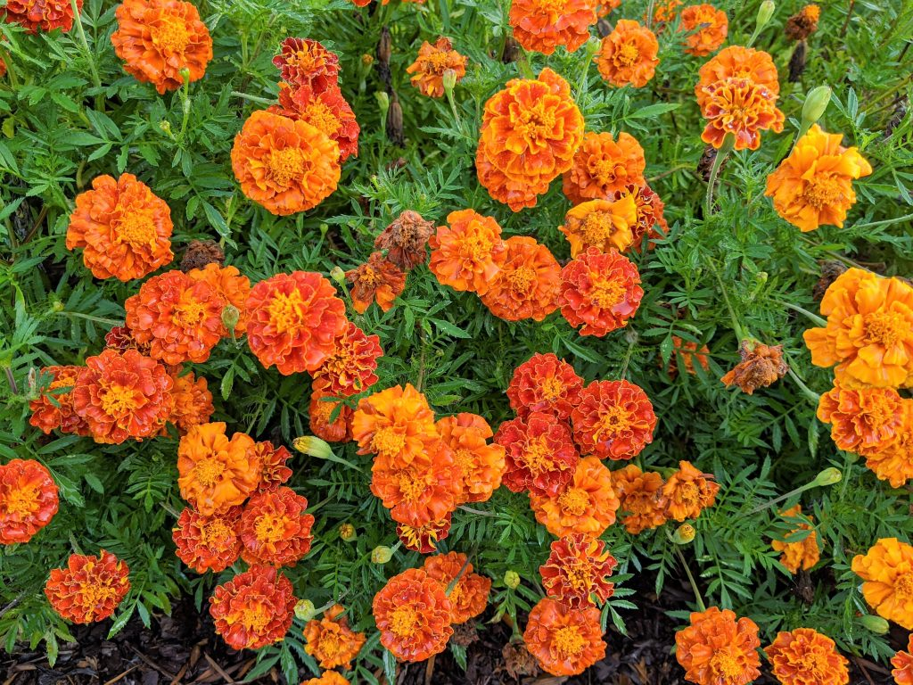 A close-up of red and orange French marigolds