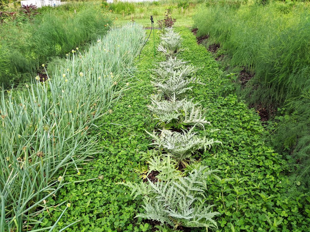 Perennial rows of asparagus, artichoke, and scallions looking verdant between cover crop rows of white clover