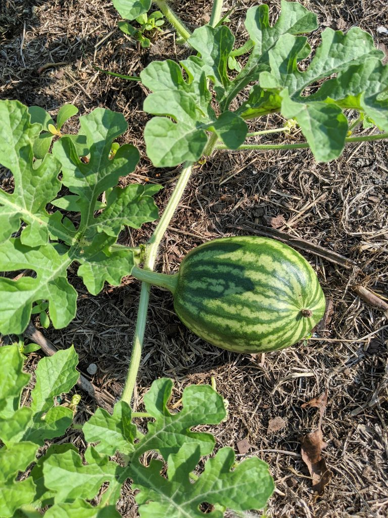 A small watermelon develops on the vine