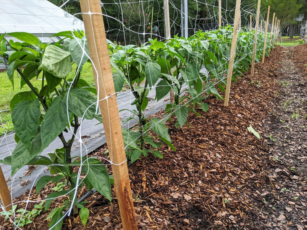 A row of pepper plants that have been staked and supported with netting