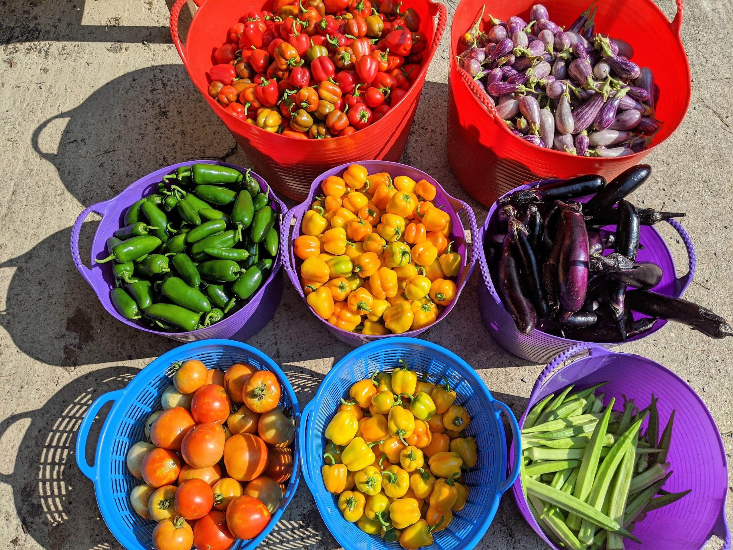 Eight harvest tubs are arranged, each with its own crop: red mini bells, mini eggplant, jalapenos, orange mini bells, Asian eggplant, tomatoes, yellow mini bells, and okra