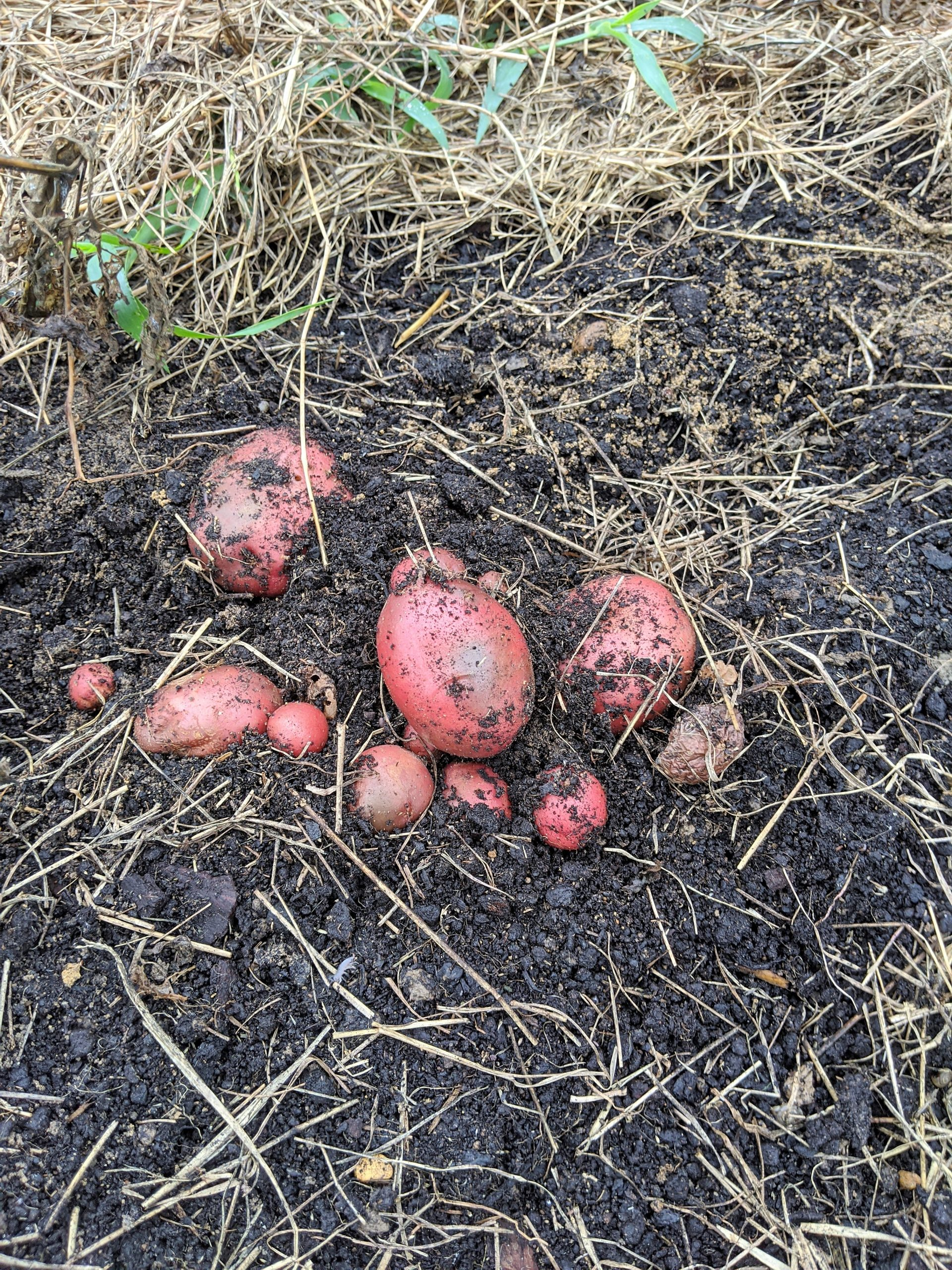 A cluster of red potatoes peak out of the earth after the plant was pulled up