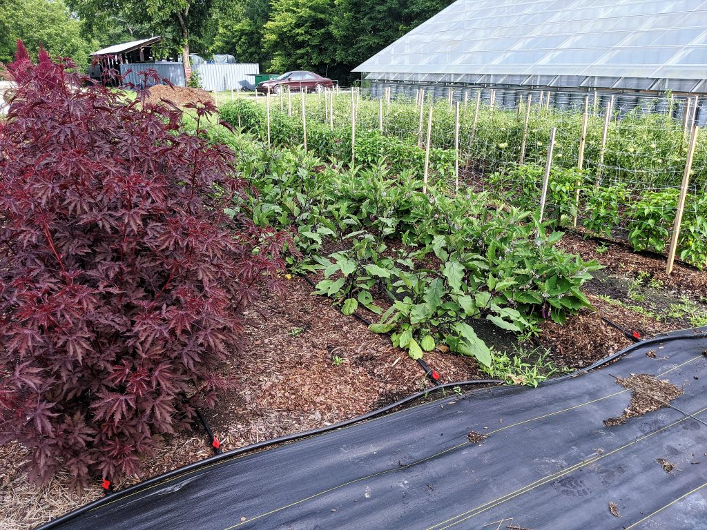 A diagonal view of a block of beds showing hibiscus, Asian eggplant, mini eggplant, mini bell peppers, and tomatoes