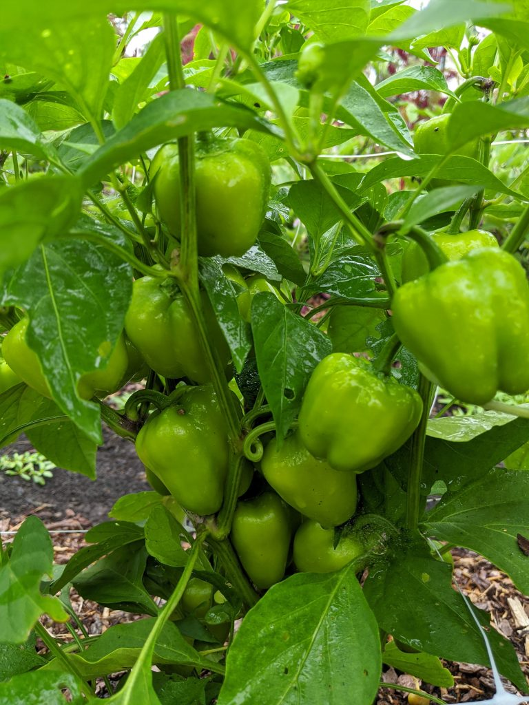 A mini bell pepper plant with many green fruit growing on it