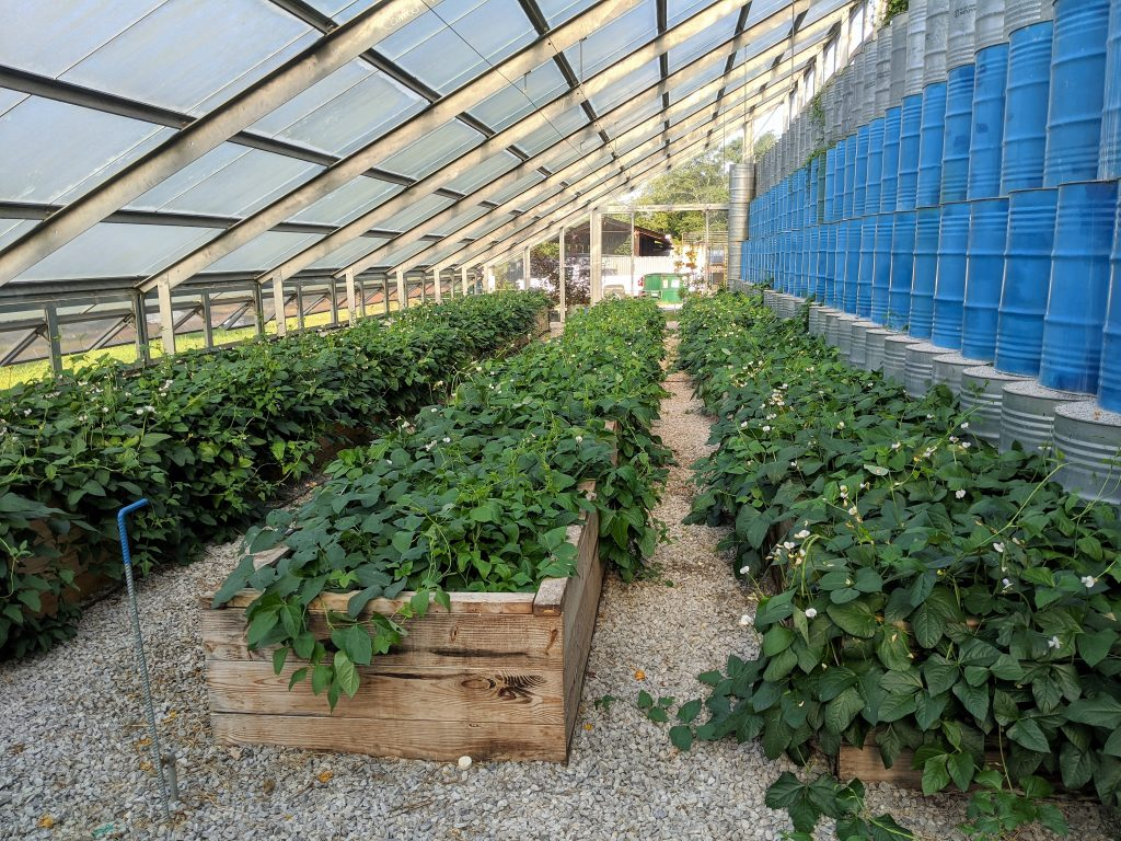 All of the beds in the solar greenhouse filled with flowering pinkeye purple hull peas