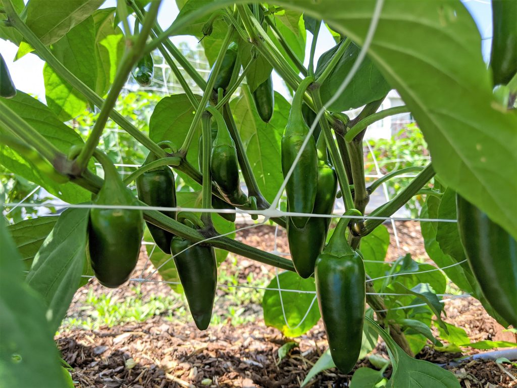 Tear-drop shaped jalapenos hang from the plant, ready to pick
