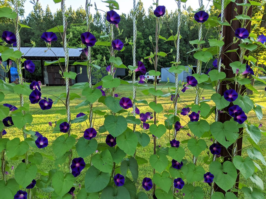 Deep blue morning glory flowers sprout from vines trained to grow up several vertical lines