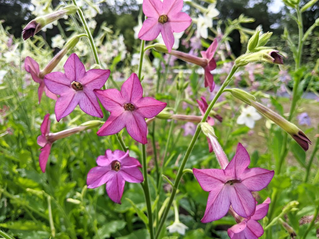 Pink blooms of nicotiana, or flowering tobacco