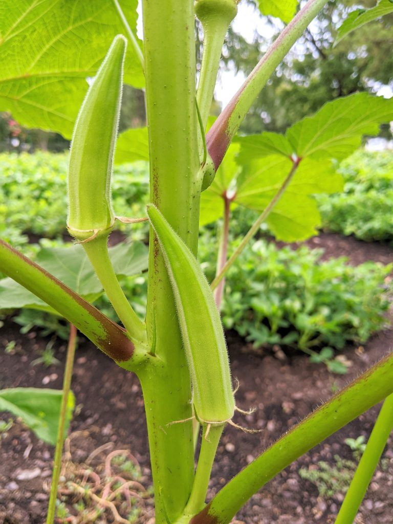 Several ripe okra pods jut out from the nodes on the central stock