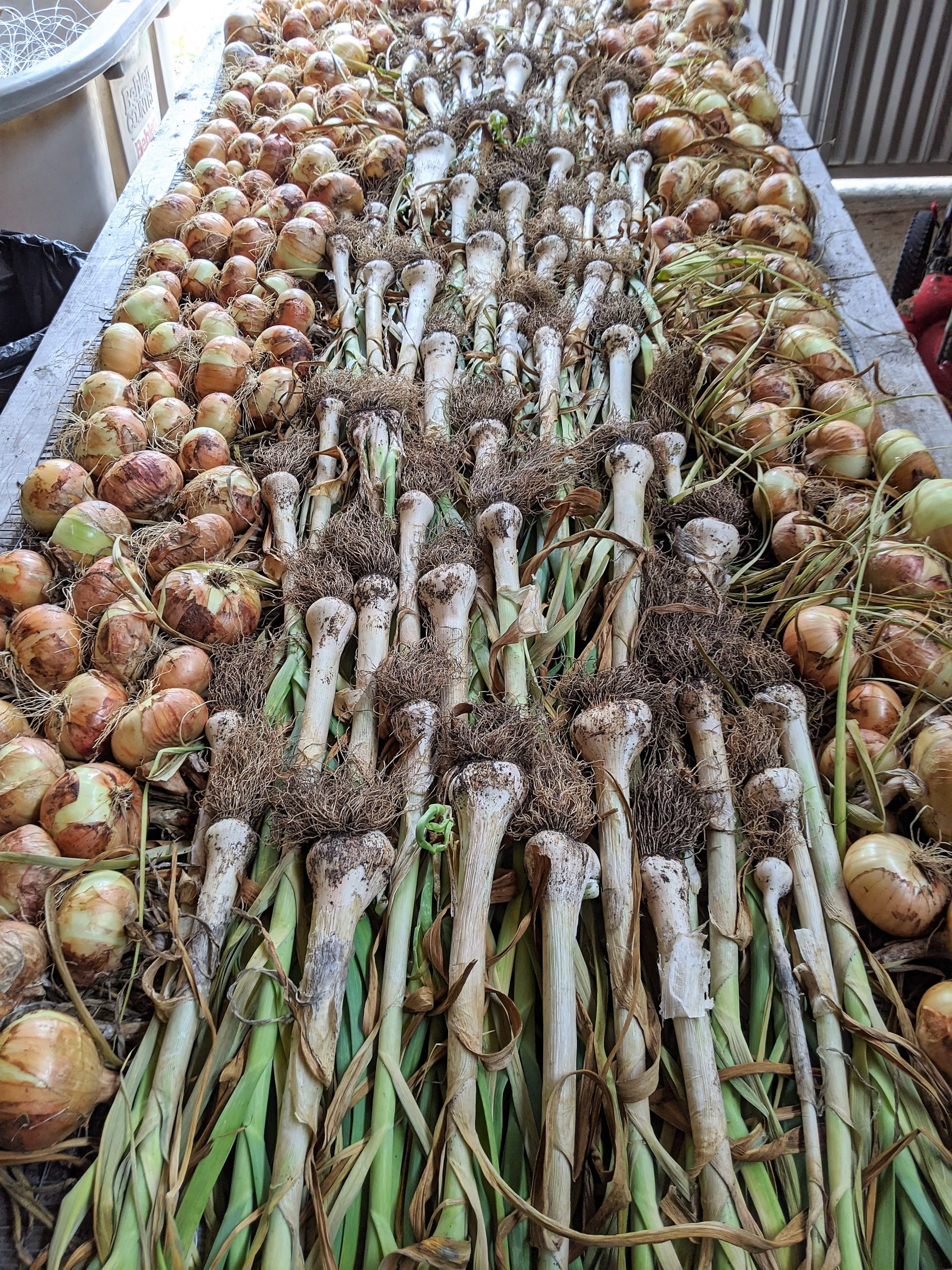 A large table lined with harvested garlic and onions to be cured