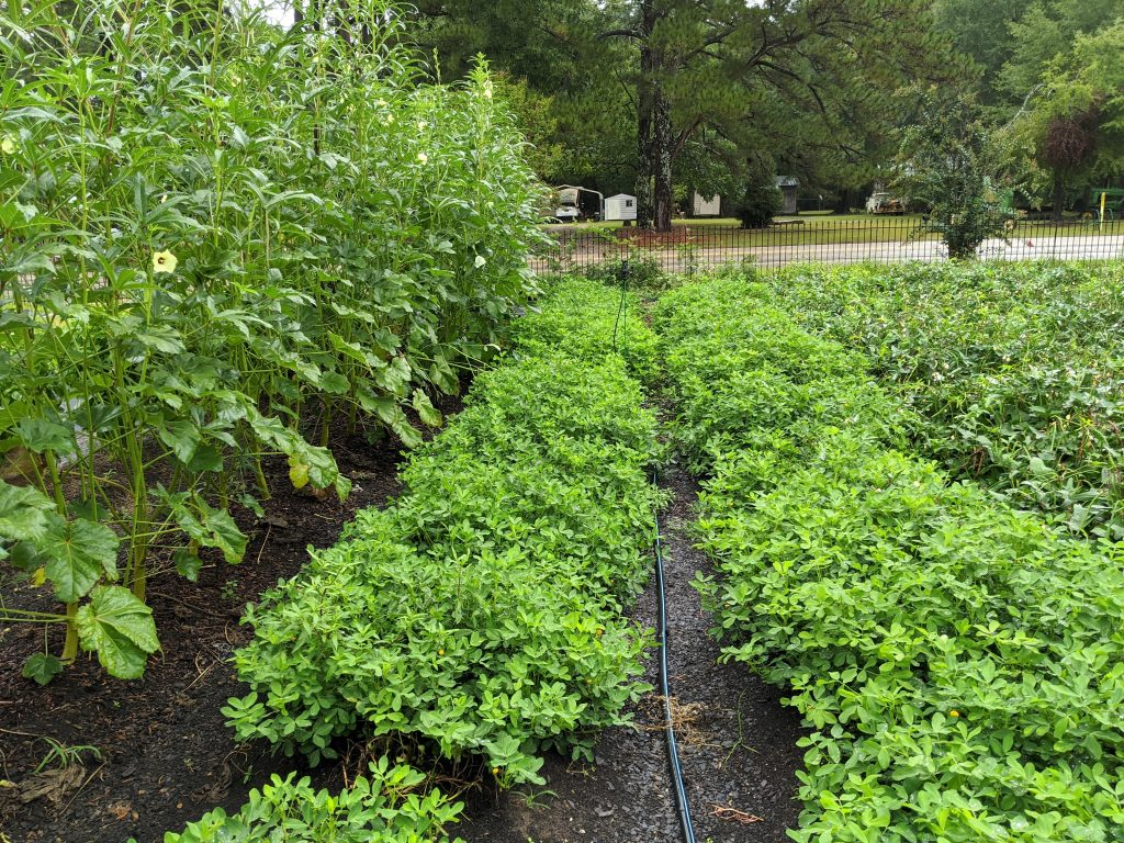 Two rows of mature peanut plants next to some much taller okra plants