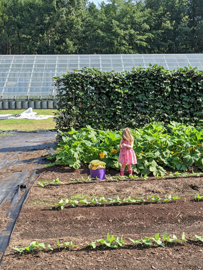 A little girl helps to harvest some yellow summer squash