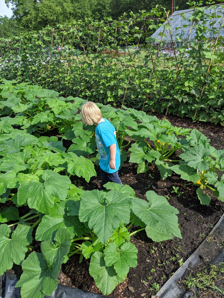 A little boy inspects some growing squash plants next to trellised pole beans