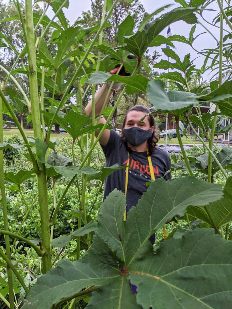 A male students picks okra from tall plants
