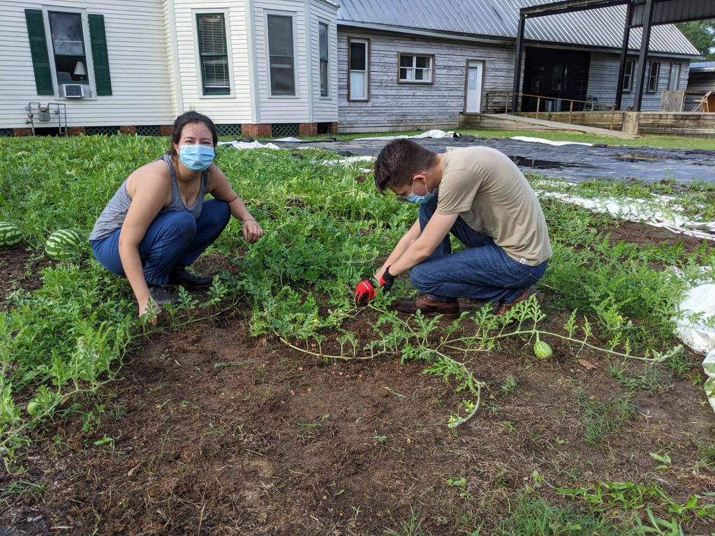 Two students pull weeds around some watermelon vines