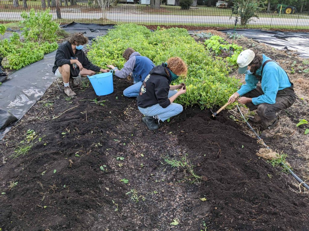 Students dig up peanut plants and collect any stray peanuts