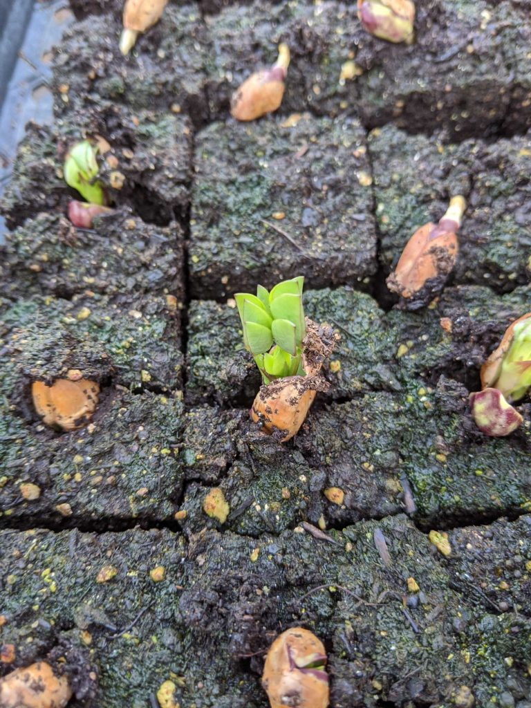 A tiny peanut sprout emerges from a soil block