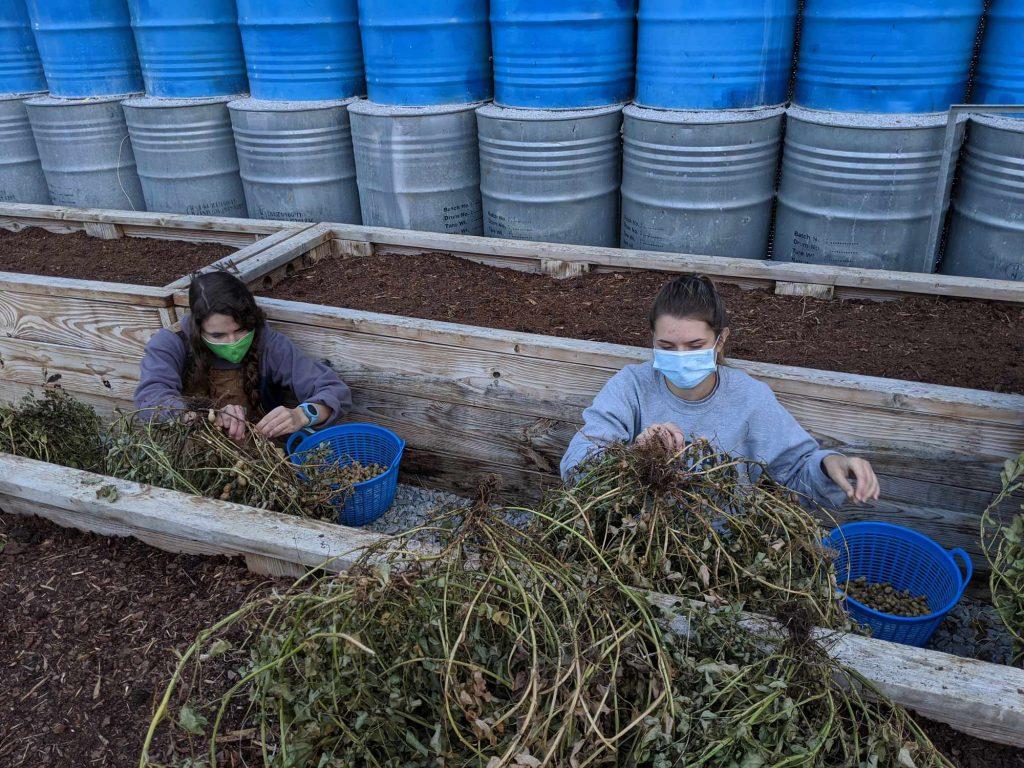 Students pick dried peanuts off the peanut plants