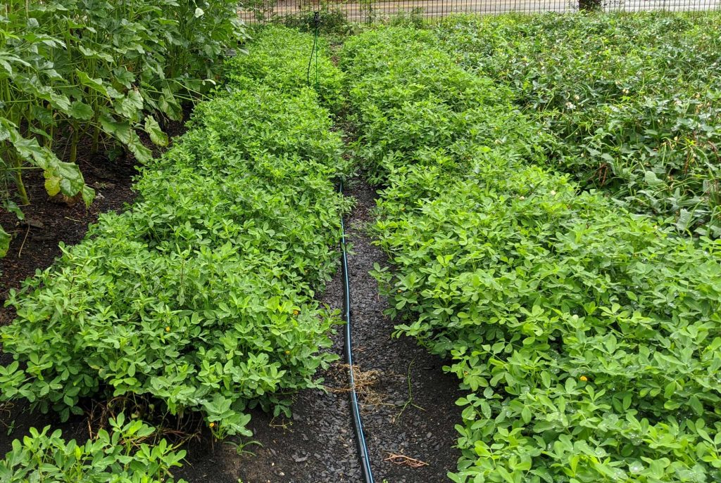 Two rows of growing peanut plants