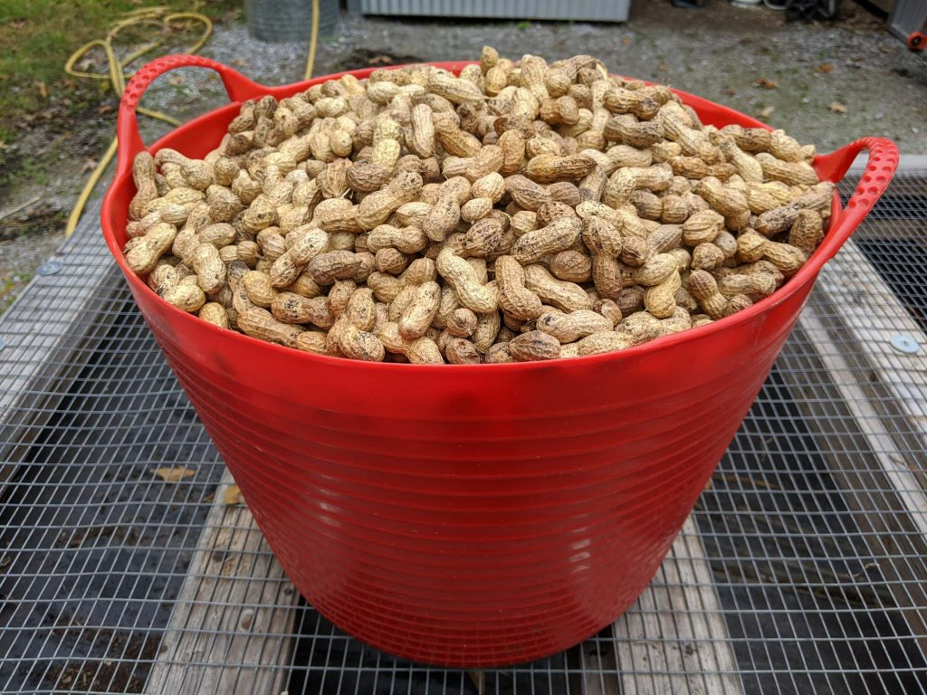 A closeup of a ten-gallon tub of peanuts
