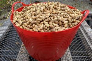 A closeup of a ten-gallon tub of peanuts