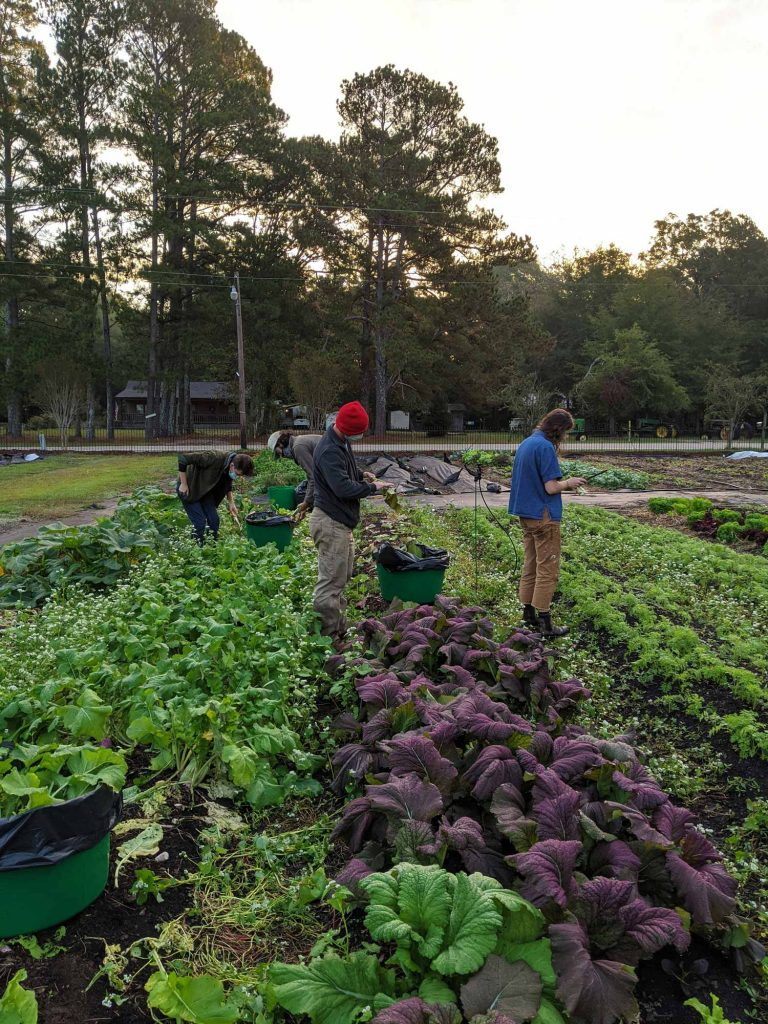 Two groups of students are harvesting mustard greens and turnips