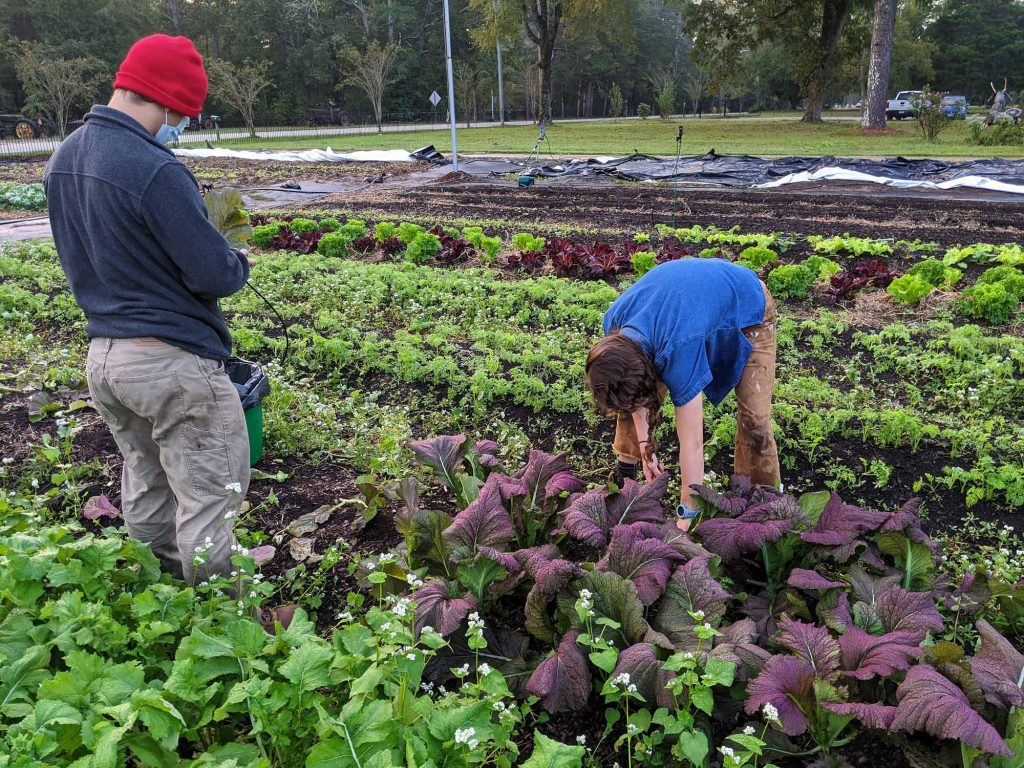Two students are harvesting red mustard greens