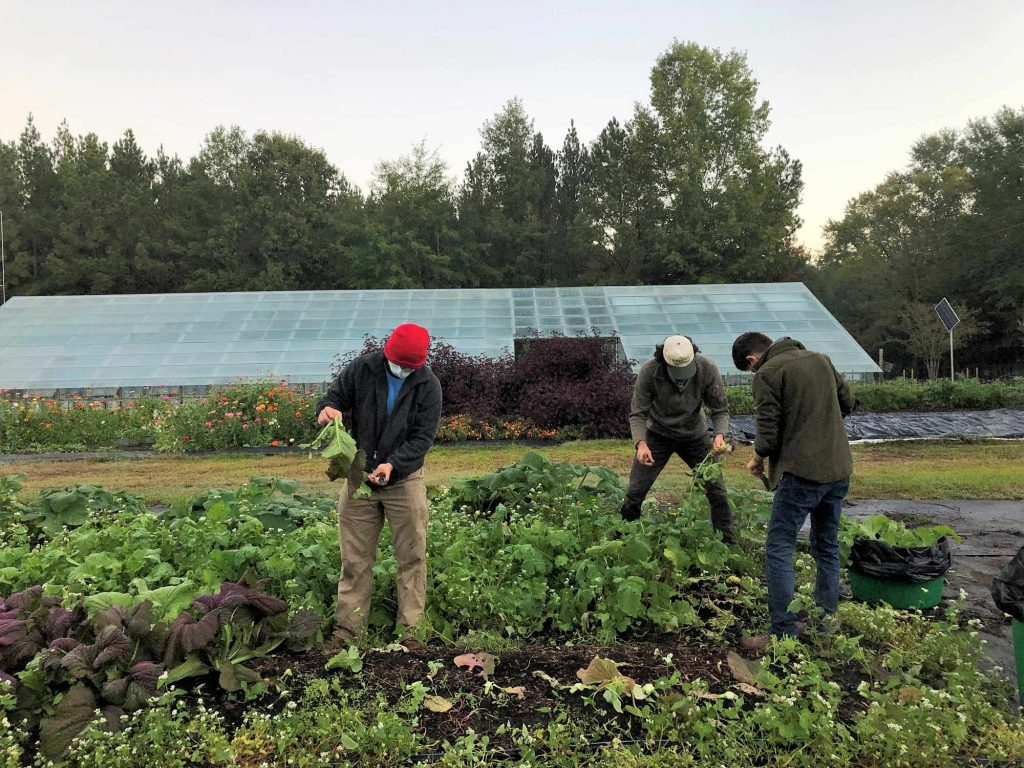 Three students pick and process turnips