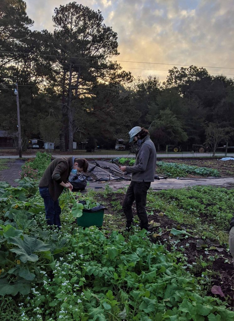Two students are harvesting turnips