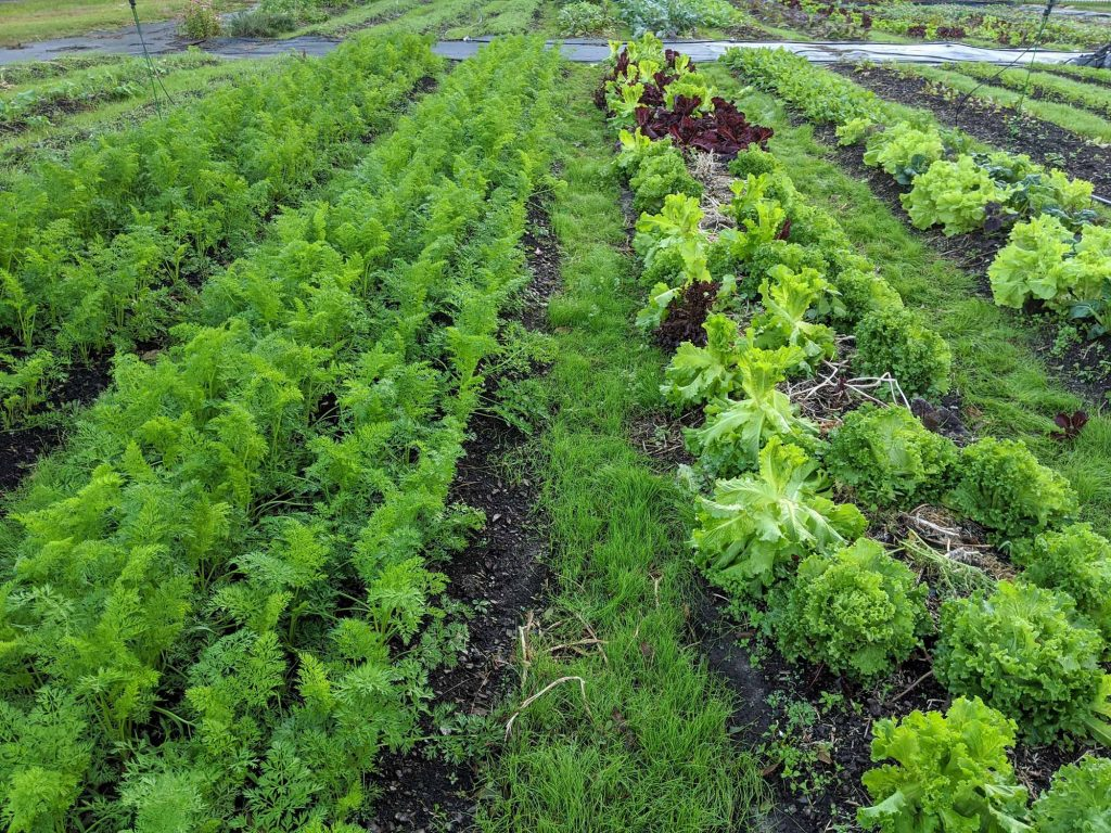 Lush green rows of mixed lettuce and carrots are growing with rye grass in between