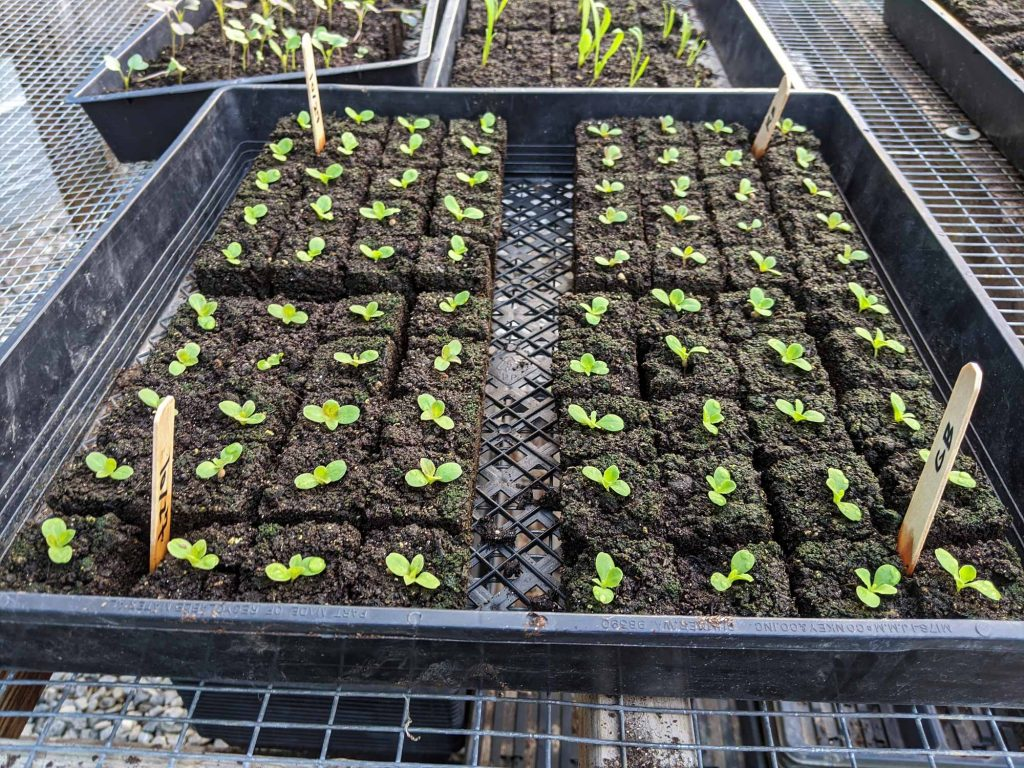 A large tray filled with seed blocks of lettuce seedlings