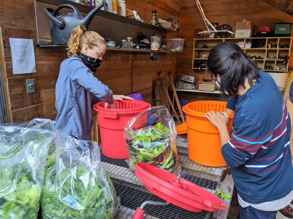 Two students transfer newly spin-dried greens into plastic bags read for the kitchen