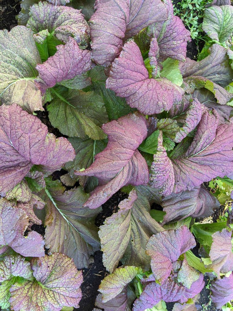 A near shot of some red mustard greens