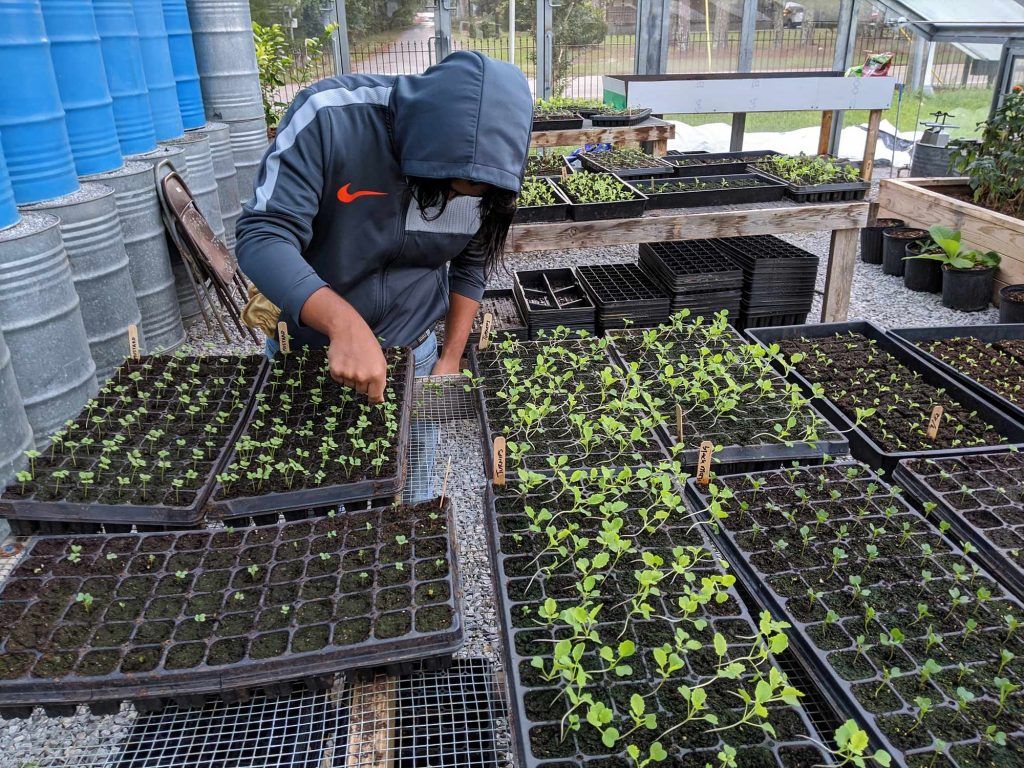 A student thins out extra seedlings that have emerged in the soil blocks and seedling trays in the seed house