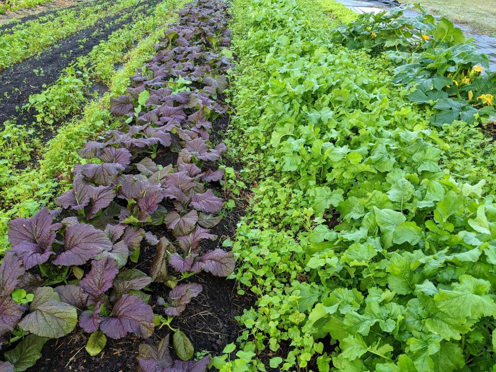 A view of several rows of fall crops ready to be harvested: red mustard greens and turnips