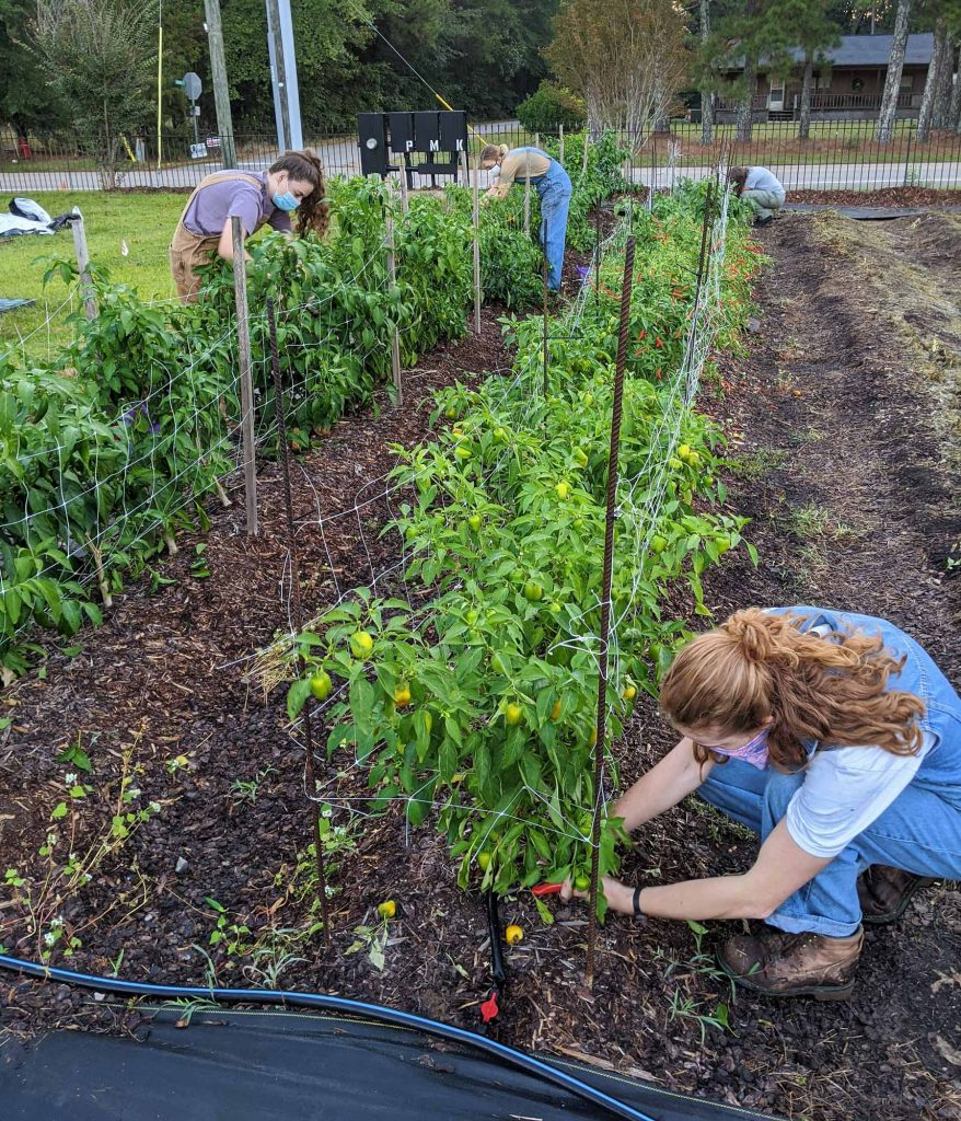 Students prepare pepper plants to be removed from the farm to make way for cover crops to be overwintered