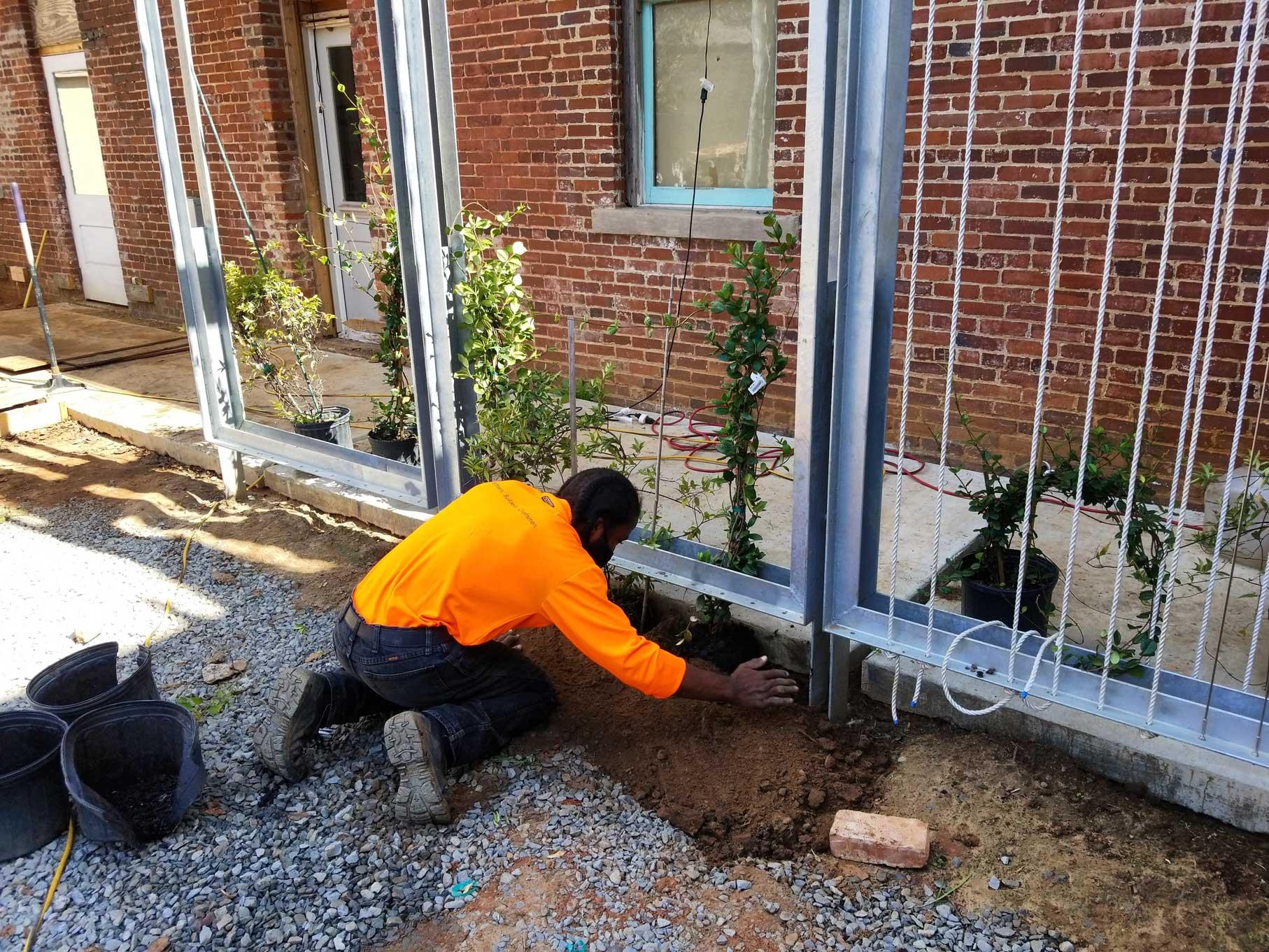 Caleb planting vines