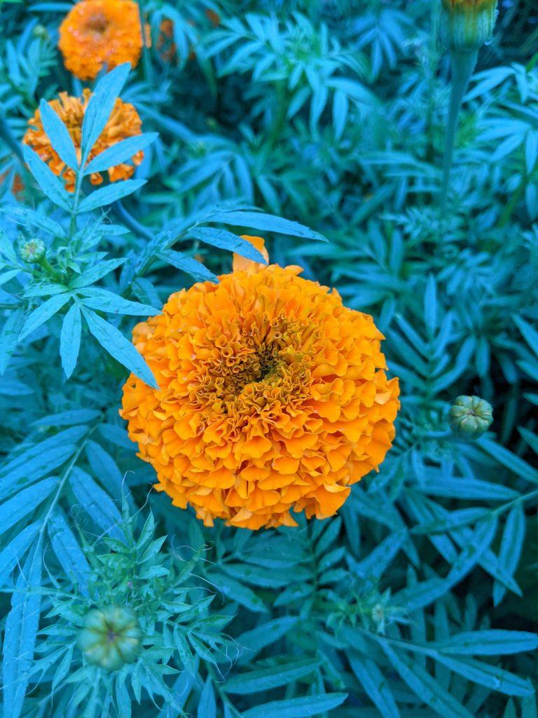 A close-up of an orange African marigold flower
